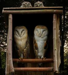 4 Eulen (erix!) Tags: owls eulen schleiereulen tytoalba birds jungvögel staring steinkauz steinkäuze littleowl athenenoctua