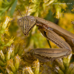 Hiding Mantis (strjustin) Tags: prayingmantis macro mantis flowers beautiful bug insect