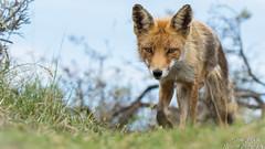 Rotfuchs (Vulpes vulpes)©Arne Flemke (Arne Flemke-Gezeiten Photography) Tags: rotfuchs redfox vulpesvulpes natur
