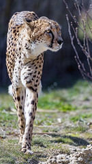 Cheetah walking his way (Tambako the Jaguar) Tags: cheetah big wild cat male walking portrait face grass profile sunny kinderzoo zoo knie rapperswil switzerland nikon d5