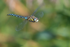 Migrant Hawker in Flight [Explored 27-09-2019] (Ellie Hilsdon) Tags: uk southwest macro nature photography wildlife dragonflies dragonfly westhay westhaymoor wild wings pair flight mating hawker migrant odonata migranthawker odonate
