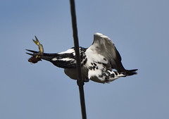 pied kingfisher killing a fish (praveen.ap) Tags: piedkingfisher kingfisher kill kaliveli