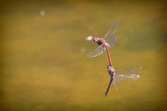 Dragonflies mating (Kike K.) Tags: insect animal odonata dragonfly color red green amateur canon 80d gimp tube branch yellow nature natural water sun light sunlight lake forest meadow leaf stone skull closeup macro wildlife bokeh outdoor wings fly autunno autumn fall may spring summer hover orange pond 2019 september 400mm mating