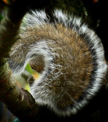 Squirrel tail frame (tanith.watkins) Tags: squirrel framed smileonsaturday