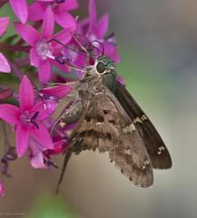 Skipper on Pentas (paulgarf53) Tags: butterfly pentas skipper nature garden backyard florida macro nikon d700 150mmf28exdgoshsmapomacro