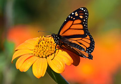 810_0497. Monarch Butterfly on Mexican Sunflower (laurie.mccarty) Tags: monarch monarchbutterfly butterfly bokeh mexicansunflower insect nature naturephotography nikon nikond810 wildlife