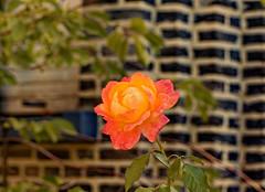 Pour tous mes amis de Flickr - For all my Flickr's friends (p.franche malade - Sick) Tags: rose plante jardin nature bokeh orange automne pétales plant garden autumn petals blume 花 blomst flor פרח virág bunga bláth blóm bloem kwiat цветок kvetina blomma květina ดอกไม้ hoa زهرة fleur flower macro sony sonyalpha65 dxo photolab2 bruxelles brussel brussels belgium belgique belgïe europe pfranche pascalfranche schaerbeek schaarbeek