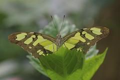 Malachite Butterfly - Siproeta stelenes (Phasmomantis) Tags: malachite butterfly siproeta stelenes florida brazil insect lepidoptera nature wildlife green macro pentax tamron bokeh close up portrait horninman museum