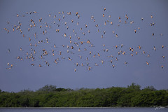 Flamencos (phoenicopterus ruber) (Juan Alberto Taveras) Tags: flamencos phoenicopterusruber avifaunadominicana birds phoenicopteridae chordata republicadominicana