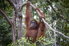 Bornean orangutan in the jungle in Sarawak, Malaysia (Tim van Woensel) Tags: borneo malaysia orangutan sarawak kuching semenggoh jungle green monkey ape travel asia nature