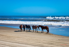 Stallion & Mares at Ocean (Donald.Gallagher) Tags: 4x4beach animals atlantic bbf beach black blacklevels blue brown carova clarity colors contrast crop dehaze exposure horizontal horses mammals mare nc nature noisereduction northamerica northcarolina obx ocean outerbanks outerbanx public saturation skylumphotolemur3 spanishmustang stallion summer topazaiclear topazdenoiseai typebackbuttonfocus typecolor typelightroom typeportrait typewideangle usa vignetting waves white whitelevels