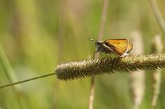 Droit devant... (passionpapillon) Tags: macro papillon butterfly insecte nature bokeh color 2019 hespérie passionpapillon ngc