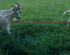 The Race (Rosmarie Voegtli) Tags: goats arlesheim hiking grass animal ziegen