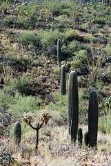 Tucson Mountain Park (Karolina W) Tags: arizona desert tucson hike sonorandesert morninghike tucsonmountainpark starrpasstrailhead saguaro saguaros