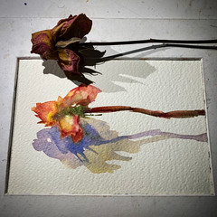 Day 1511. The #rose #painting for today. #watercolour #watercolourakolamble #sketching #stilllife #flower #art #fabrianoartistico #hotpress #paper #dailyproject (akolamble) Tags: rose painting watercolour watercolourakolamble sketching stilllife flower art fabrianoartistico hotpress paper dailyproject