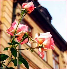 Freitagsblümchen (magritknapp) Tags: bamberg haus rosen freitagsblümchen house rosesfridayflower demeure roses fleurduvendredi sala rosas flordelviernes casa flordesextafeira rose ifioridelvenerdì huis rozen vrijdagbloemen dom róże piątkowekwiaty
