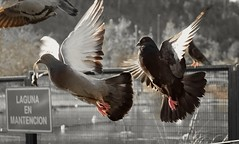 Palomas (Lorena Lo) Tags: palomas volando aves birds parquebicentenario santiagodechile chile park