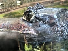 Eyes on me (jay{76}) Tags: animal animals wildlife crocodile predator hunters crocs predators riveranimals dangerousanimals lifeonearth nausicaa