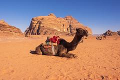 1048 Desert Transportation (Hrvoje Simich - gaZZda) Tags: outdoors sky landscape desert blue day animals camels wadirum jordan asia travel nikon nikond750 nikkor283003556 gazzda hrvojesimich