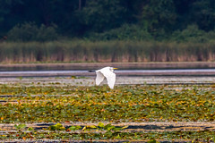 Great Egret 5 (DL_Dietz) Tags: birds canoneos5dmarkiv egrets flying greategret kensingtonmetropark livingstoncounty michigan nature naturephotography northamerica summer unitedstates wildlife wildlifephotography wildwinglake