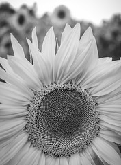 Sunflowers a black and white perspective. (CWhatPhotos) Tags: cwhatphotos flickr summer 2019 day photographs photograph pics pictures pic picture image images foto fotos photography artistic that have which contain olympus micro four thirds sun flower flowers sunflower sunflowers field green yellow nature plant plants weed weeds plawsworth north east engand uk county durham sunny bw mono monochrome black white