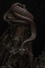 Dipsas elegans (antonsrkn) Tags: snake ecuador dipsaselegans snaileater wildlife herp herpetology nature animal reptile