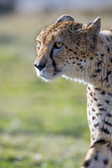 Another cheetah profile (Tambako the Jaguar) Tags: cheetah big wild cat male profile portrait face walking pacing looking grass sunny kinderzoo knie rapperswil switzerland nikon d5