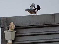 Discussion between Kestrel and Jay in Holland. (capelleaandenijssel) Tags: birds birdspotter fauna nature netherlands torenvalk vlaamse gaai