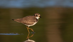 Semi-palmated Plover (mandokid1) Tags: canon 1dx ef400mmdoii birds shorebirds