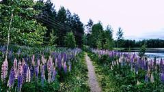 Muuratsalo (Miradortigre) Tags: suomi fin finlandia finland muuratsalo island isla lago lake päijänne central landscape flores flowers