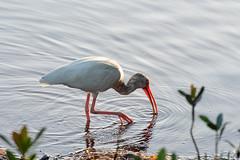 Birds_Sanibel_3.FINAL.8x12 (ke.schroeder47) Tags: nikon d810 sanibelisland florida dingdarlingnationalwildliferefuge dingdarling birds