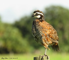 Male Northern Bobwhite (Gary Helm) Tags: northernbobwhite quail northernbobwhitequail male bird fly light feathers wings birds animal nature wildlife outside outdoor ghelm4747 garyhelm image photograph florida floridawildlife osceolacounty joeoverstreetroad canon camera sx60hs powershot perched fencepost earlymorning covey pineforest gamespecies flushing gamebird