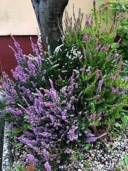 Heather (BrooksieC) Tags: plants flowers heather garden