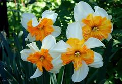 Double Ruffles (Lani Elliott) Tags: garden nature naturephotography daffodils double petals ruffledpetals orange yellow springflowers springbulbs pretty beautiful colour colourful
