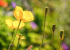 Poppies (mclcbooks) Tags: flower floers floral poppy poppies denverbotanicgardens colorado