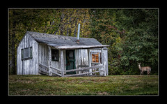 Old cabin and deer (tkimages2011) Tags: vermont cabin wood decay derelict wildlife deer animal tree grass outside outdoors landscape stare surprised dilapidated newengland usa