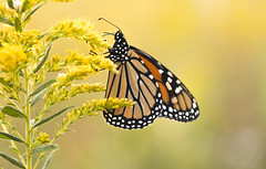Monarch Migration (Bernie Kasper (6 million views)) Tags: art berniekasper butterfly butterflies bug bugs color colour d750 effect family flower floral flowers fall hiking historic indiana indianawildflowers insect insects indianabutterflies image jeffersoncounty light landscape love leaves leaf goldenrod madisonindiana macro nature nikon naturephotography new national nwr nikkor outdoors outdoor old outside monarchbutterfly monarch photography plant park photos photo raw sigma summer travel unitedstates usa yellow wildflower wildflowers
