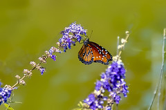 Monarch Butterfly 1 (Largeguy1) Tags: approved macro flowers purple monarch butterfly canon 5dsr