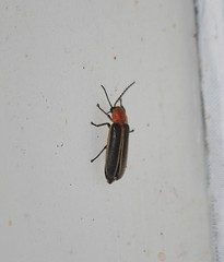 Lampyridae – Fireflies (tripp.davenport) Tags: tx deepcreekranch uvaldecounty coleoptera beetle lampyridae fireflies