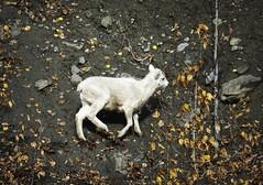 Dall Sheep Lamb - Alaska (JLS Photography - Alaska) Tags: alaska alaskalandscape animal animals sheep dallsheep jlsphotographyalaska lamb nature nationalgeographicwildlife wildlife