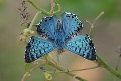 Blue Metalmark - Male (Kristy_Baker) Tags: blue metalmark butterfly insect bug nature wildlife fauna park texas cameron