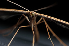Plume moth #3 (Lord V) Tags: macro bug insect moth plumemoth
