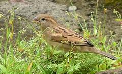 House Sparrow (Sheuli Hossain) Tags: bird housesparrow nature