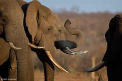Socialising at waterhole (leendert3) Tags: leonmolenaar southafrica krugernationalpark wilderness wildlife wildanimal nature naturereserve naturalhabitat mammals africanelephant ngc npc