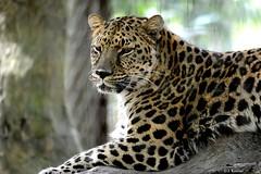 Amur Leopard - Panthera pardus orientalis (HGHjim) Tags: amur leopard panthera pardus orientalis amurleopard pantherapardusorientalis