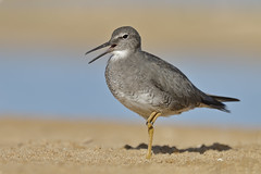 Wandering Tattler (Tringa incana) (SharifUddin59) Tags: wanderingtattler tattler tringaincana tringa incana shorebird bird calling sand beach stream nature wildlife animal kekahabeach kekaha kauai hawaii