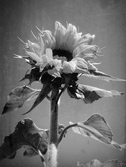 Life is strange (Carina️️) Tags: life strange vida blackandwhite bw white black flower nature branco effects natureza flor preto sunflower efeitos pretoebranco estranha girassol brazil brasil br ♥brasil