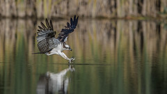 things don't go well for the fish (Paul McGoveran) Tags: bif bird birdinflight hendrievalley nature nikon500mmf4 nikond850 osprey wings coth coth5 ngc