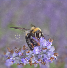 Don't let the noise of others' opinions drown out your own inner voice. (Zara Calista) Tags: macro bumblebee insect nature flower lilac nikon texture