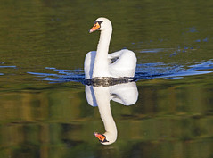 Mute swan (Cygnus olor) - Riverside Valley Park, Exeter, Devon - Sept 2019 (Dis da fi we) Tags: mute swan cygnus olor exeter devon riverside valley park